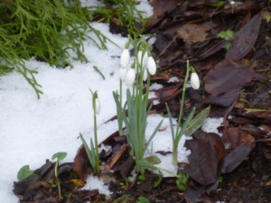 Snowdrops in Snow (at Glenveagh)